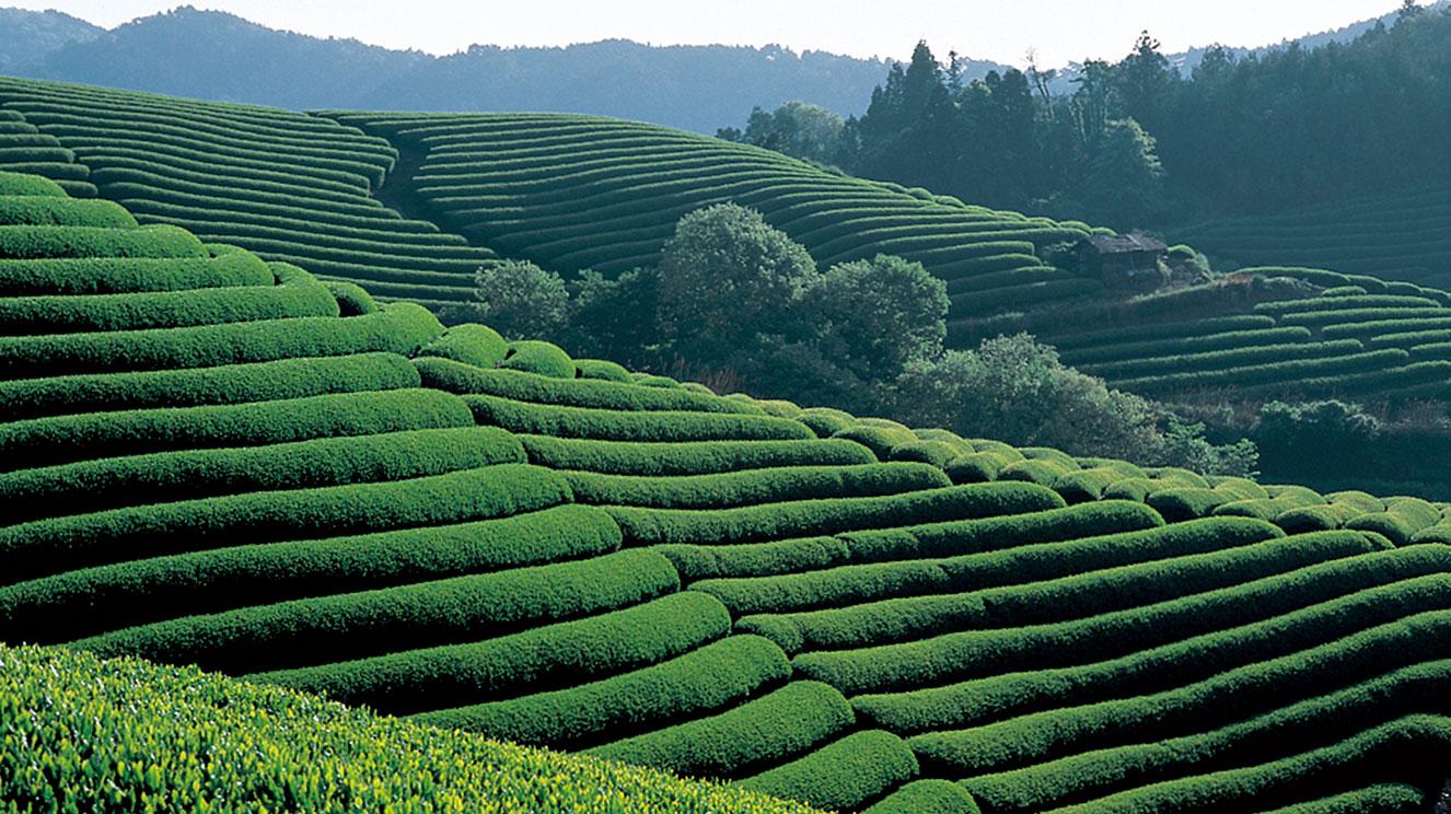 京都 和束茶フェア